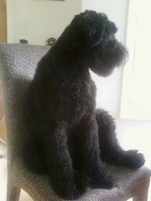 The front left side of a black Whoodle dog that is sitting on a fluffy chair and it is looking to the right. It has a square muzzle and a thick coat.