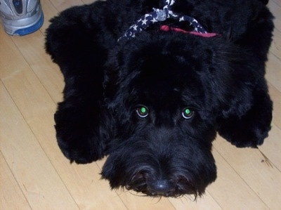 Close up - A black fluffy Whoodle dog is laying down on a hardwood floor and it is looking up. Its eyes are glowing green.