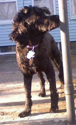 A shaved black Whoodle that is standing on a walkway and it is sniffig a pole to the right of it. It has a long muzzle and longer hair on its ears with a shaved body.