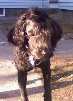 Front view - A shaved black Whoodle dog standing on a streetside walkway. It is looking down and it has a Mohawk.
