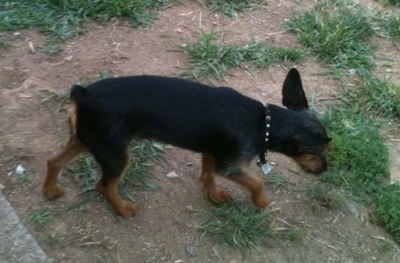 The right side of a black and brown Wire Fox Pinscher puppy that is walking across a patchy dirt surface. It has large perk ears that are pinned back slightly