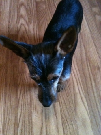 Top down view of a black with brown Wire Fox Pinscher puppy that is looking down at the hardwood floor it is standing on. The dog has very large perk ears that stand up in the air and wiry looking fur on its face.