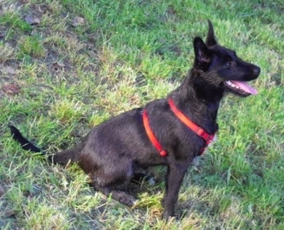 The right side of a panting black Wire Hair Snauzer that is sitting on a hill and it is wearing a red harness. It has perk ears, a black nose, dark eyes and very white teeth.