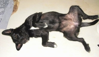 A black with white Wire Hair Snauzer is laying on its back belly up with its paws in the air. It has white on its chest, a black nose, dark eyes and perk ears.