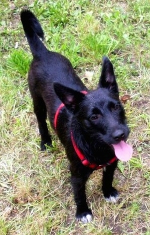 The front right side of a black dog with a shiny coat wearing a red harness standing outside in grass. It is looking up and it is panting. It has white on the tips of its paws, dark eyes, a tail that rings up over its back and large perk ears.