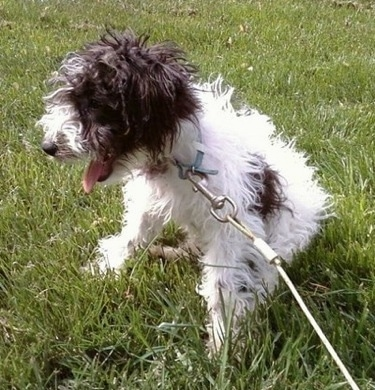 The front left side of a wavy coated white with brown Wire-Poo dog that is sitting outside in grass with a leash attached. It is panting.