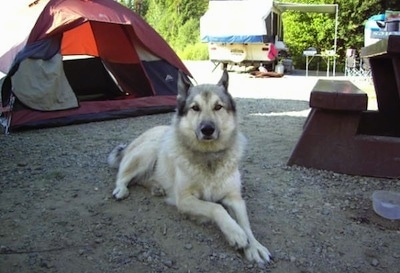 A tan and white with black Wolamute is laying in the dirt at a campground and it is looking forward. There is a red and tan tent and a pop-out camper behind it.