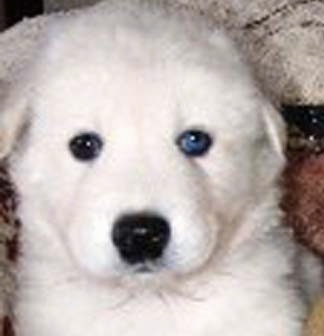 Close up - A white Artic and Timber Wolf Hybrid puppy is laying on a blanket and it is looking forward. It has one blue eye and one black eye.