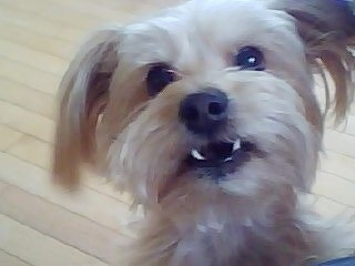 Close up - Gulliver the Bichon Yorkie with its bottom teeth showing and a hardwood floor in the background