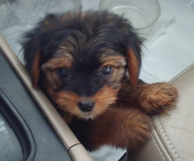 Close up - Top down view of a black with tan Yorkipoo puppy standing up against the passenger seat of a vehicle and it is looking up. Its ears are hanging down to the sides. It has wide dark eyes and a black nose.