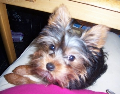 Yorkshire Terrier Dog Breed Pictures Yorkie Page 4