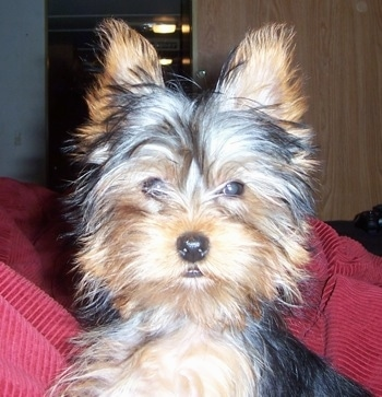 Maddie the Yorkie at 5 1/2 months old.