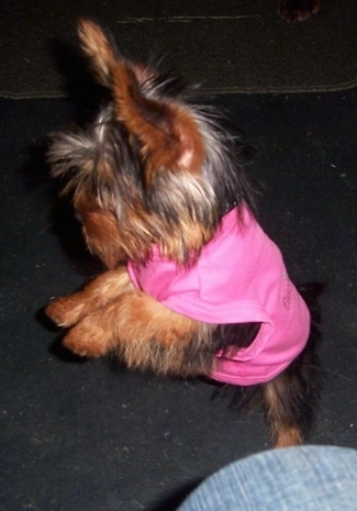Yorkshire Terrier puppy jumping up in the air wearing a hot pink shirt with a person to the side of it