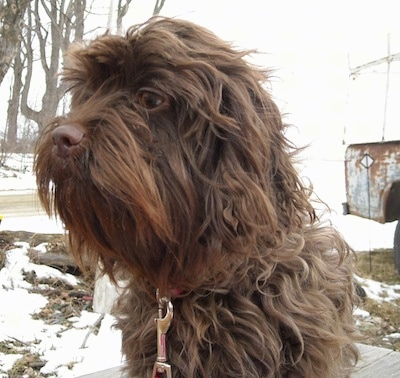 Close up upper body shot - A long-wavy-coated, brown Affen Spaniel dog is sitting on a wooden deck surrounded by an area covered in snow.