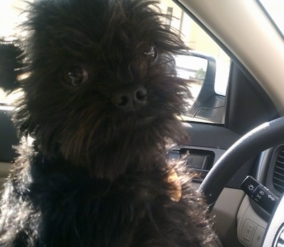Close up - The right side of a black Affenpinscher that is sitting in the driver seat of car and it is looking forward.