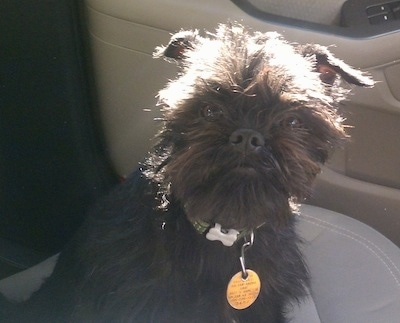 The right side of a black Affenpinscher that is sitting down in a car with big yellow dog tag. It is looking forward.