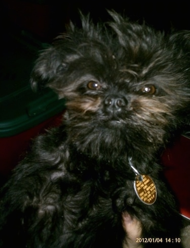 Close up - A black Affenpinscher puppy is wearing a big yellow dog tag sitting with a window in the background
