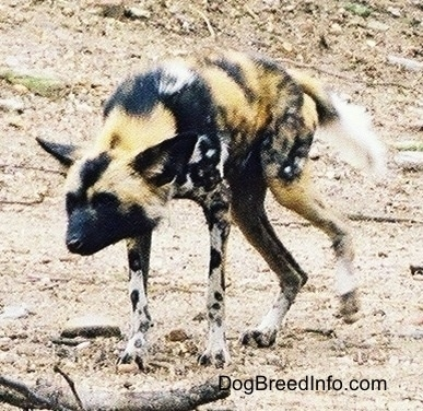 The front left side of an African Wild Dog running across a dirt surface.