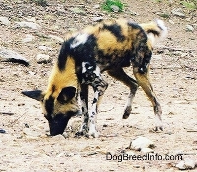 African Wild Dog digging in dirt