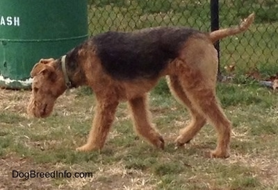 Adult Airedale Terrier