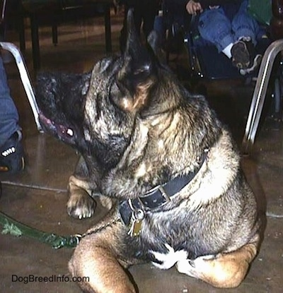 A black and brown with white Akita is laying down on the floor under a table looking back