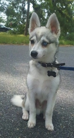 A grey with white Toy Alaskan Klee Kai is sitting on pavement and it is looking to the left.