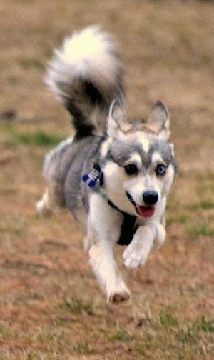 A black with white Toy Alaskan Klee Kai is running across a patchy grass