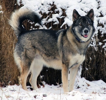 A thick coated, wolf-gray colored Alaskan Shepherd standing in the snow