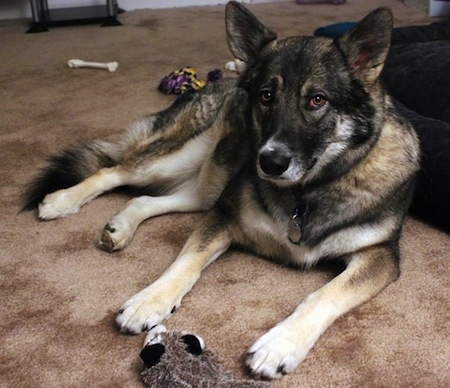 Alaskan Shepherd laying on the carpet around dog toys