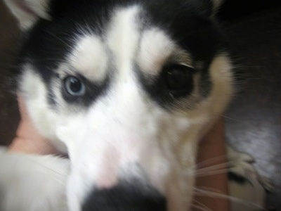 Close up - The face of a black with white Alusky that is sitting on the lap of a person
