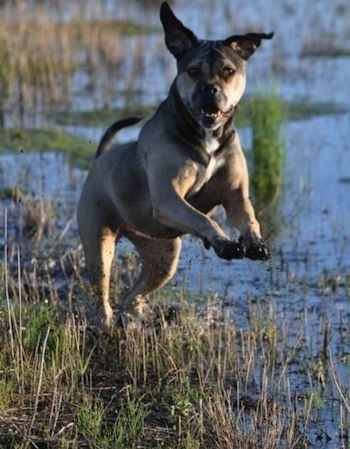 American Allaunt jumping through a marshy muddy area