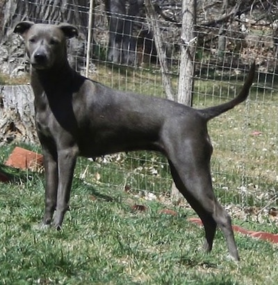 The left side of an American Blue Lacy that is standing in front of a fence, up a hill and it is looking forward.