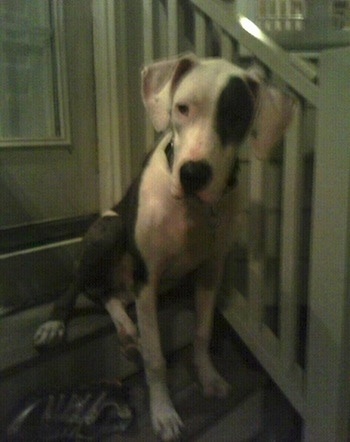 The front right side of a black and white American Bull Dane that is sitting on stairs and it is looking forward.