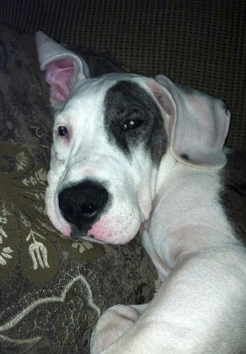 Close up - The left side of a white and black American Bull Dane puppy that is laying down on a couch and it is looking forward.