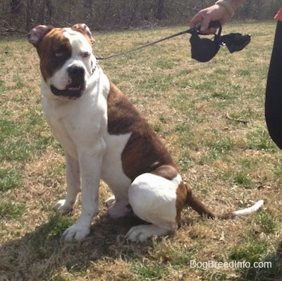American Bulldog sitting outside with someone holding a retractable leash
