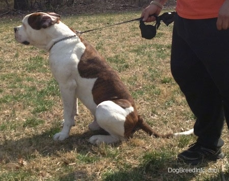 The left side of a brown and white American Bulldog is sitting outside in grass and there is a person standing behind it holding its leash.