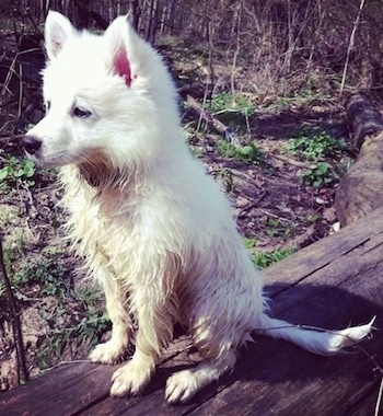 The front left side of a white American Eskimo puppy that is wet and a little muddy, it is sitting on a log.