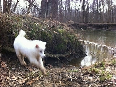 The front right side of a white American Eskimo puppy that is jumping onto a dirt path that is near water