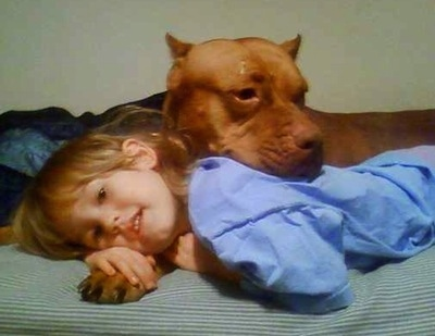 A red-nose Pit Bull Terrier is cuddling with a child on a bed
