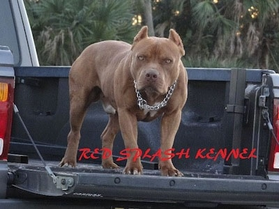The front right side of a brown with white American Pit Bull Terrier dog that is standing in the bed of a pickup truck. The words - Red Splash Renner - are overlaid under it.