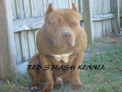 A red with white American Pit Bull Terrier is sitting in front of a wooden fence, it is leaning forward and the words - Red Splash Renner - are overlaid under it.