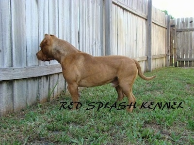 The left side of a red with white American Pit Bull Terrier is standing in front of wooden fence and it is peaking through a crack in the fence.