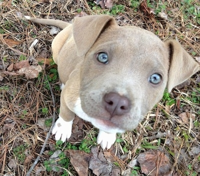 Close Up - Topdown view of a blue-nose blue-eyed Pit Bull Terrier puppy that is sitting in lawn brush and it is looking up.