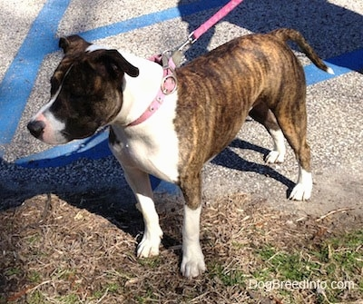 The front left side of a brindle and white American Pit Bull Terrier that is standing partially in grass and a parking lot. It is looking to the left.