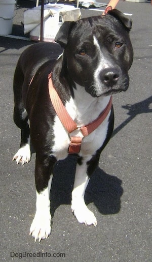The front left side of a black with white American Pit Bull Terrier that is standing in a parking lot. Its head is slightly tilted to the left.