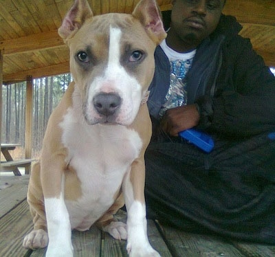 Close up - A tan with white American Pit Bull Terrier puppy is sitting on a park bench with a man sittign cross-legged behind it.