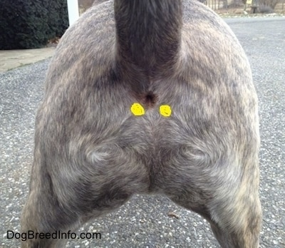 A dog's anus with yellow circles drawn on either side marking the anal gland areas