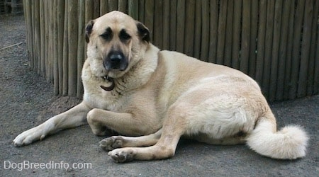 The left side of a tan Anatolian Shepherd that is sitting outside in dirt and it is looking forward.