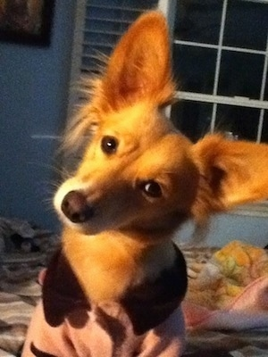 Minnie the Andalusian Podenco at 3 years old.
