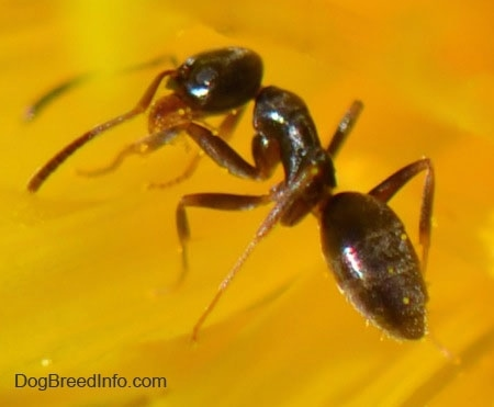 Close up - a tiny black ant on a dandelion